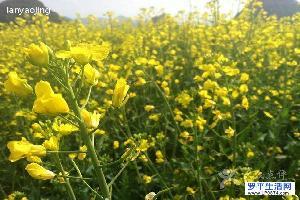 罗平旅游日志:金色罗平--一生一定要去一次的地方