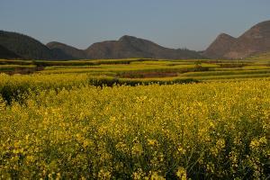 罗平旅游攻略: 2015年春节罗平兴义四日游