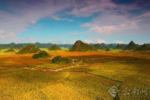 2015罗平红高粱成熟啦,罗平万亩高粱红遍天