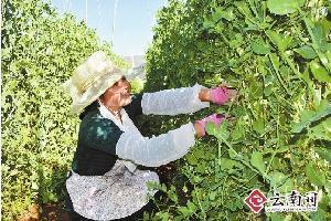 陆良做大做强蔬菜产业