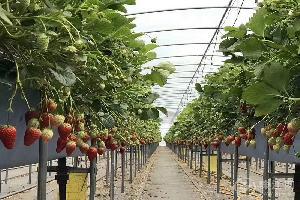 会泽县首家高架立体冬草莓栽培示范种植全面完成