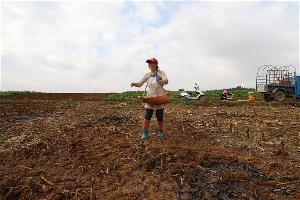罗平县百万亩油菜籽开播