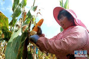 罗平县:40万亩玉米相继进入成熟采收期