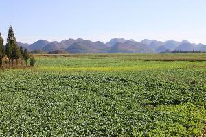 罗平县:100万亩油菜长势喜人 市民期盼尽快欣赏到花海