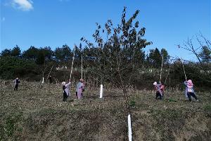 罗平县老厂乡投入60万元 实施核桃提质增效3000亩